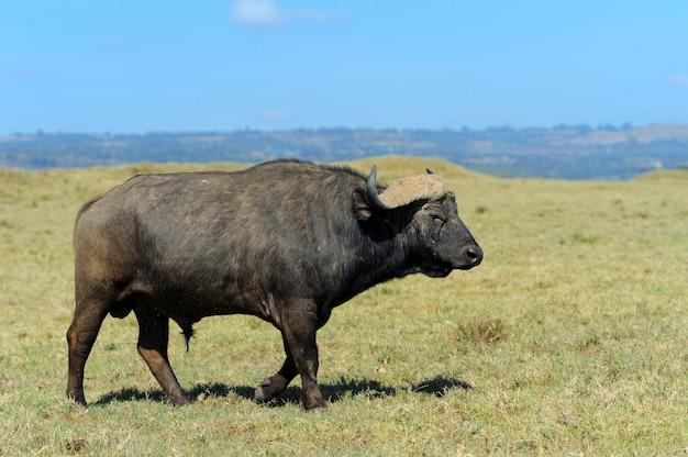 Wilder afrikanischer büffelbulle. afrika, kenia