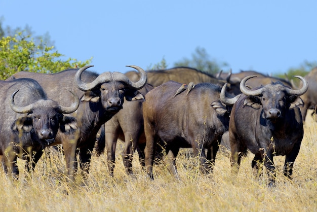 Wilder afrikanischer büffelbulle. nationalpark von afrika, kenia
