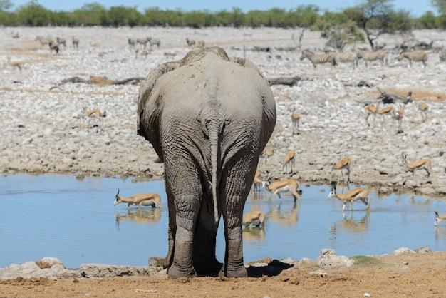 Wilder afrikanischer elefant auf dem wasserloch in der savanne