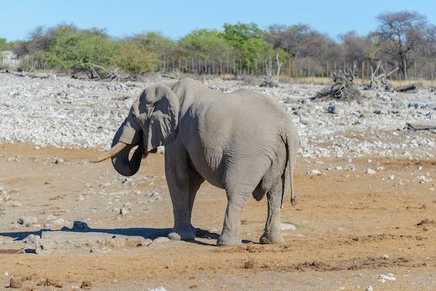 Wilder afrikanischer elefant, der in der savanne geht