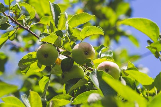 Wilder apfelbaum. grüne äpfel auf einer zweignahaufnahme.