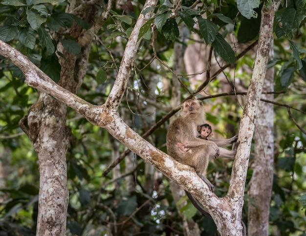 Wilder baby-langschwanz-makaken, der muttermilch von seiner mutter saugt