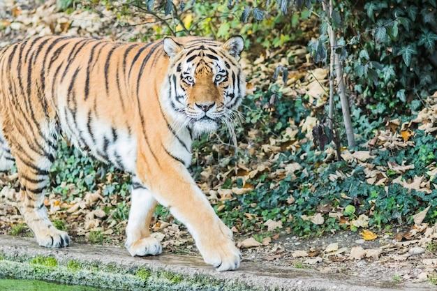 Wilder bengal-tiger (panthera tigris tigris) im dschungel