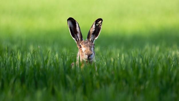 Wilder brauner hase, der mit alarmierten ohren auf einem grünen feld im frühjahr schaut.
