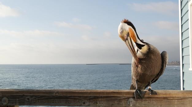 Wilder brauner pelikan am pier, california ocean beach usa. küstenpelecanus, großer vogel. großer schnabelschnabel