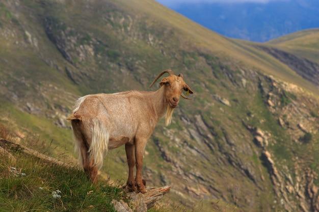 Wilder brauner steinbock im berg auf einem stein