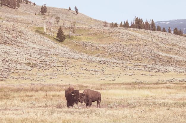 Wilder büffel im yellowstone-nationalpark, usa