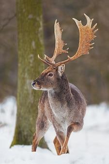 Wilder damwildmann, der im schnee steht.