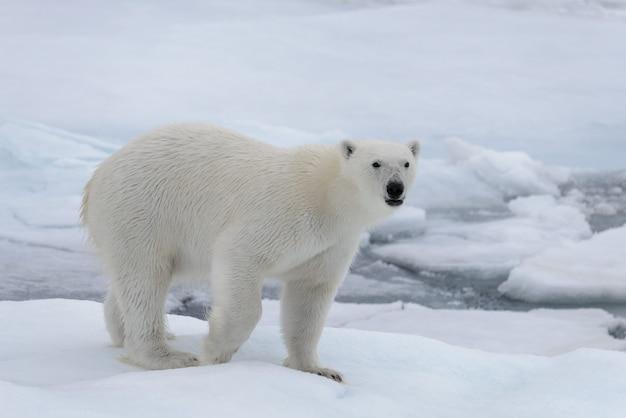 Wilder eisbär auf packeis im arktischen meer