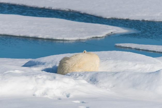 Wilder eisbär, der auf dem packeis nördlich von insel spitzbergen, spitzbergen liegt