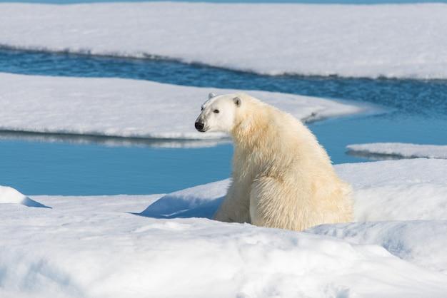 Wilder eisbär, der auf dem packeis nördlich von insel spitzbergen, spitzbergen sitzt