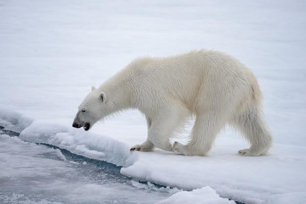 Wilder eisbär, der in wasser auf packeis im arktischen meer geht