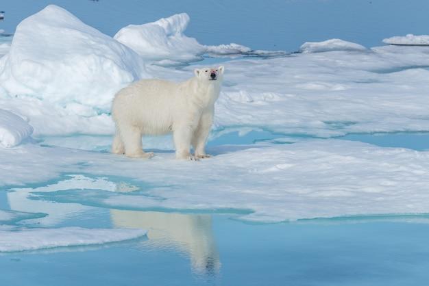 Wilder eisbär (ursus maritimus) auf dem packeis nördlich von spitzbergen, spitzbergen