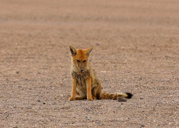 Wilder fuchs in der wüstenlandschaft in bolivien. eduardo abaroa andenfauna national reserve. südamerika