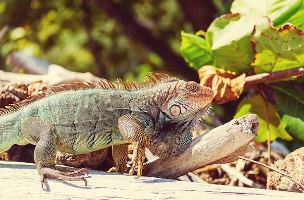 Wilder grüner leguan in costa rica