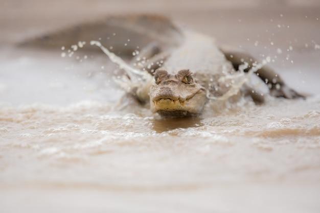 Wilder kaiman im naturlebensraum wilde brasilianische brasilianische tierwelt pantanal