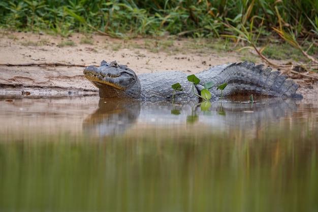 Wilder kaiman mit fisch im mund im naturlebensraum