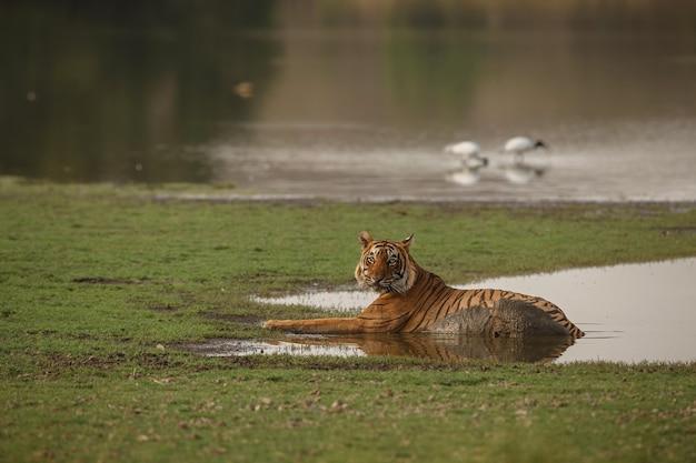 Wilder königlicher bengal-tiger im naturlebensraum des ranthambhore-nationalparks