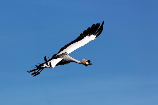 Wilder kranich, der im sommer im blauen himmel fliegt