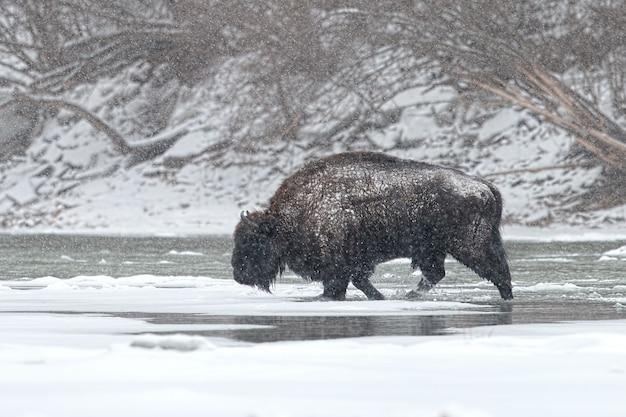 Wilder männlicher europäischer bison, der fluss im winter mit herumfallendem schnee kreuzt.