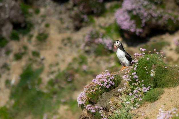 Wilder papageientaucher in den klippen von irland