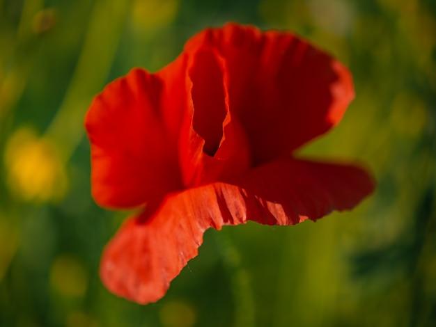 Wilder roter mohn. rote mohnblume. mohnblume rotes feld wildblume