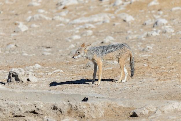 Wilder schakal am wasserloch in der afrikanischen savanne