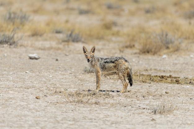 Wilder schakal in der afrikanischen savanne