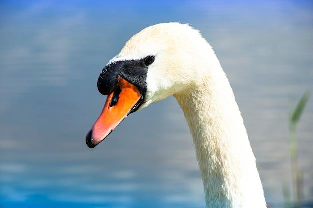 Wilder schwan auf dem see. starker stolzer vogel. natürliche tierwelt.