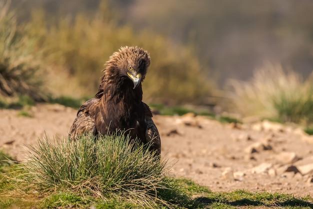 Wilder steinadler thront auf dem boden