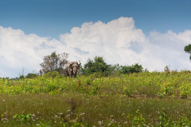 Wilder thailändischer elefant, der über rasenfläche unter blauem himmel geht
