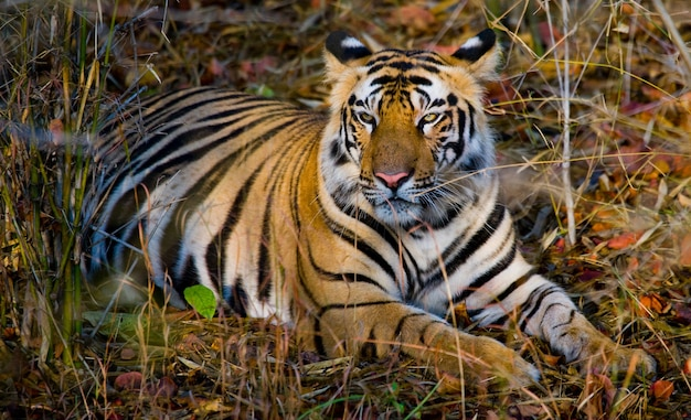 Wilder tiger, der auf dem gras indien bandhavgarh nationalpark liegt