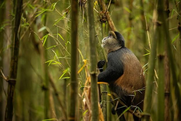 Wilder und sehr seltener goldener affe im bambuswald