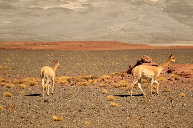 Wilder vicuna, der auf der weiten wüste von nationalem reservat los flamencos, san pedro de atacama, chile weiden lässt
