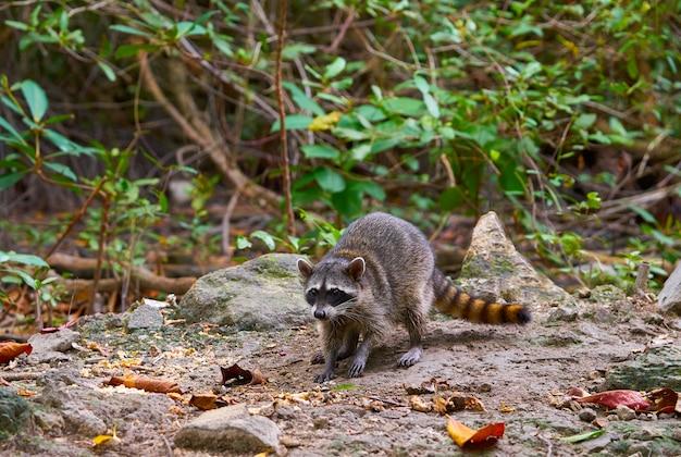 Wilder waschbär des mapache in riviera maya