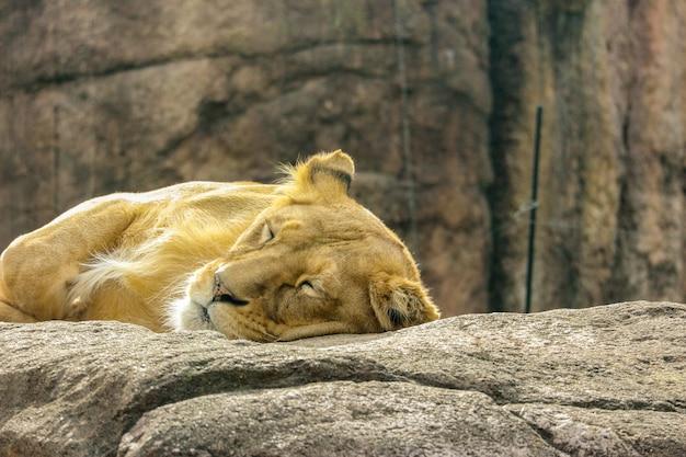Wilder weiblicher löwe, der das schlafen auf dem felsenstein sich entspannt.