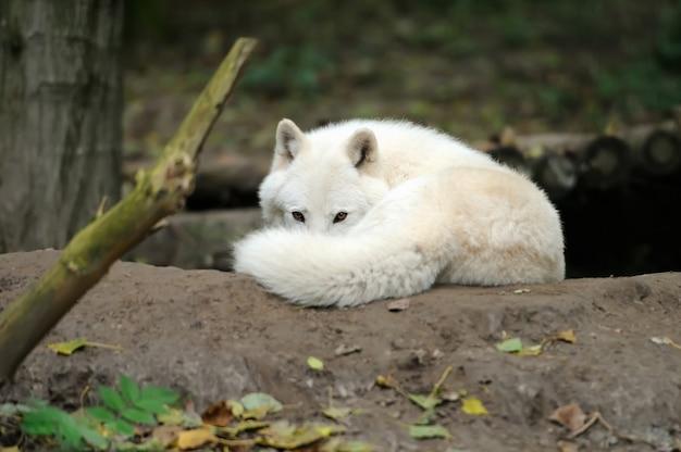 Wilder wolf im wald