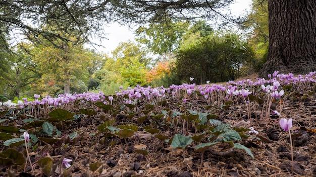 Wildes alpenveilchen (persicum) in voller blüte