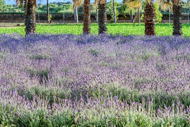 Wildes feld der lila lavendelblumen im naturpark. frühling, gartenkonzept.