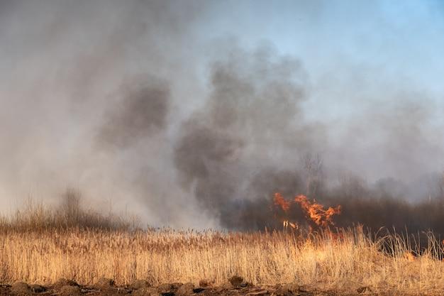 Wildes feuer, brennender stock im sumpf. naturkatastrophe: trockenmoor am see in flammen gefangen.