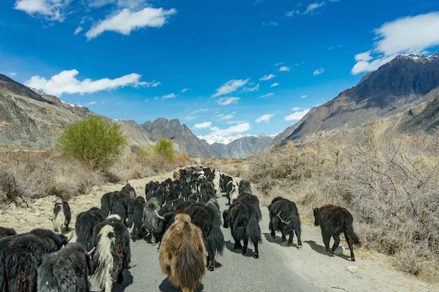 Wildes gehendes yak die straße auf dem weg zur berglandschaft in leh, indien.