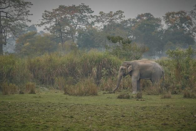 Wildes indisches elefantenmännchen mit im naturlebensraum in nordindien