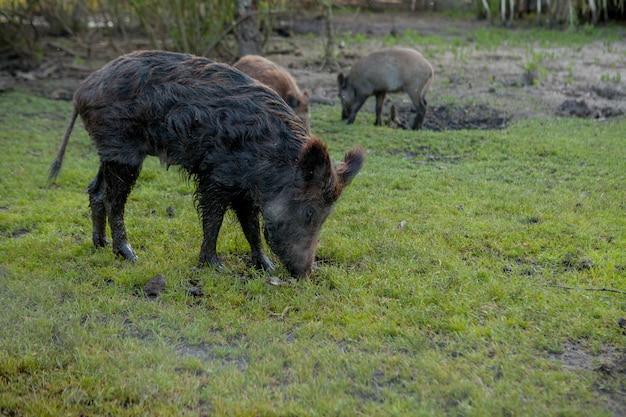 Wildes kleines schwein, das zufrieden auf gras weiden lässt