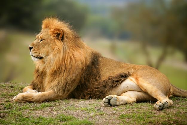 Wildes männliches tierporträt des schönen löwes
