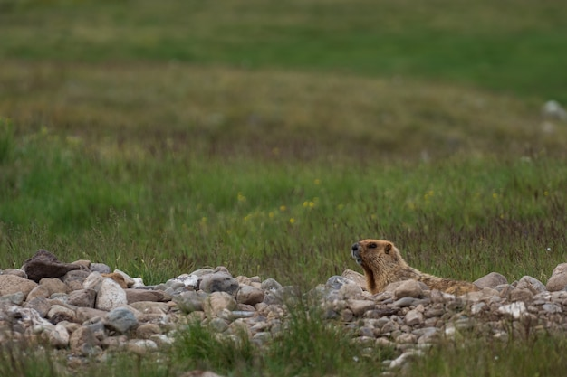 Wildes murmeltier in seiner natürlichen umgebung der berge bei sonnigem sommerwetter. das alpenmurmeltier (marmota marmota) ist ein großes bodenbewohnendes eichhörnchen aus der familie der murmeltiere.