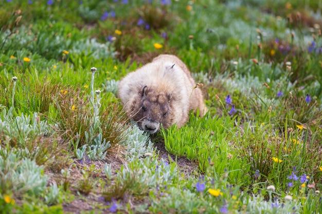 Wildes murmeltier in seiner natürlichen umgebung der berge in der sommersaison.