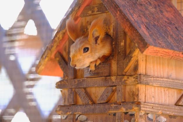 Wildes rotes europäisches eichhörnchen frisst in seinem haus braunes eichhörnchen sucht