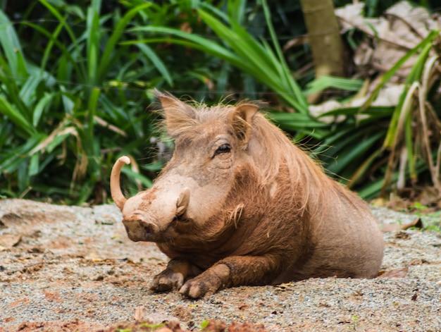 Wildes schwein in einem zoo