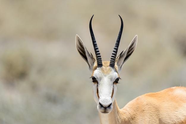 Wildes springbockantilopenporträt in der afrikanischen savanne schließen