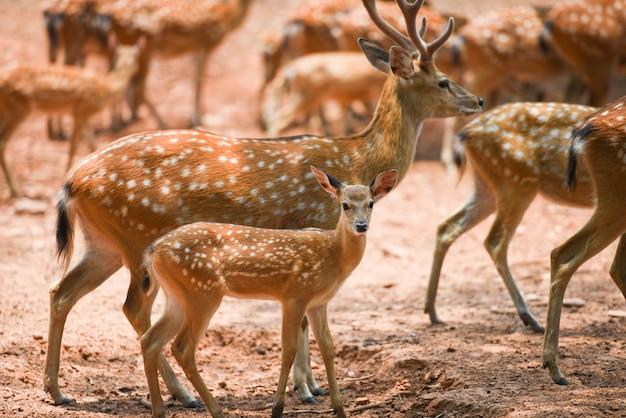 Wildes tier der beschmutzten rotwild im nationalpark - andere namen chital, cheetal, mittellinienrotwild